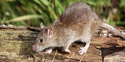 Rodent Control Iluka