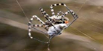 Spider Control Iluka